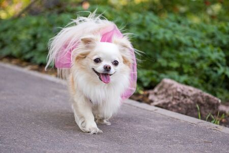 Funny Small longhair Chihuahua dog in clothes enjoy walking. A cream-coloured long coat Chihuahua is the smallest breed of dog.