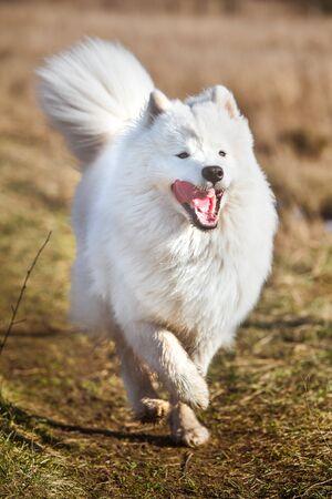 White fluffy Samoyed dog puppy is running outside Standard-Bild