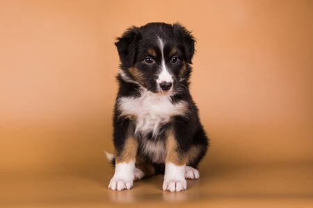 Australian Shepherd tri-color black tan puppy dog
