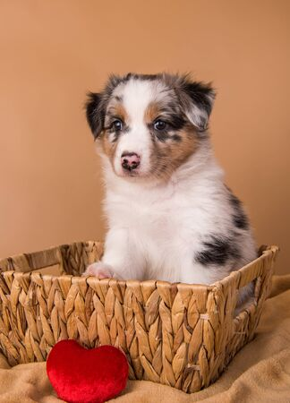 Red Merle Australian Shepherd puppy in a basket
