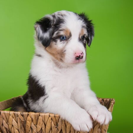 Red Merle Australian Shepherd puppy dog with copper points with blue eyes on green
