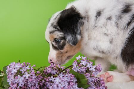 Red Merle Australian Shepherd puppy sitting with lilac flowers in front of green