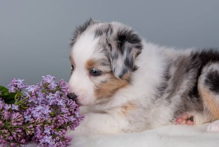 Red Merle Australian Shepherd puppy sitting with lilac flowers in front of light gray