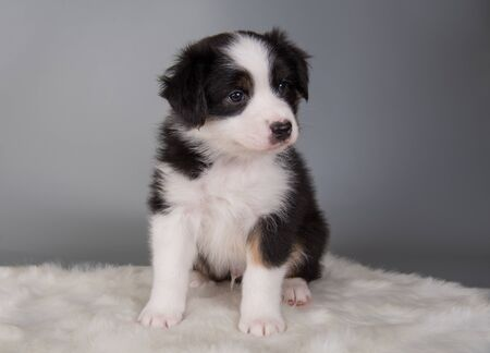 Australian Shepherd puppy portrait. Dog tri-color black, brown and white six weeks old, sitting on light gray background.