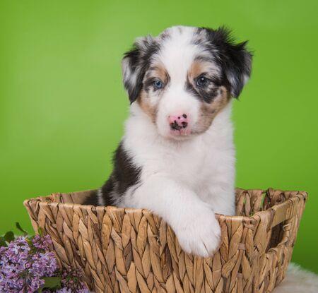Red Merle Australian Shepherd puppy sitting inside a basket in front of green