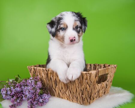 Red Merle Australian Shepherd puppy dog portrait with copper points with blue eyes, six weeks old, sitting inside a basket with lilac flowers in front of green background. Reklamní fotografie