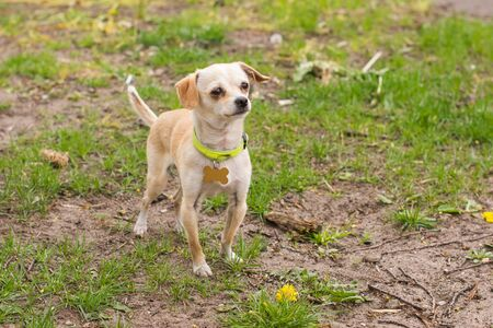 Small smooth haired chihuahua dog puppy in a collar in nature on green lawn background