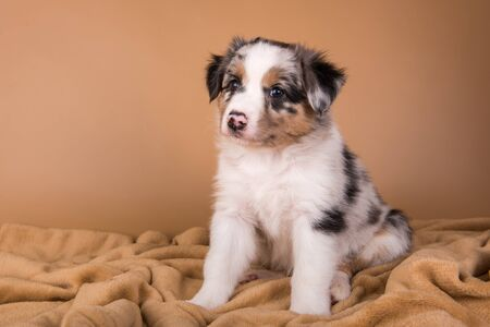 Red Merle Australian Shepherd puppy with copper points, six weeks old, sitting in front of light brown background