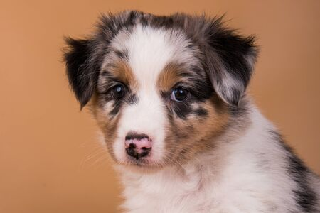 Red Merle Australian Shepherd puppy dog close-up with copper points, six weeks old, sitting in front of light brown background