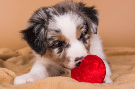 Red Merle Australian Shepherd puppy with copper points, six weeks old, sitting with red heart in front of light brown background