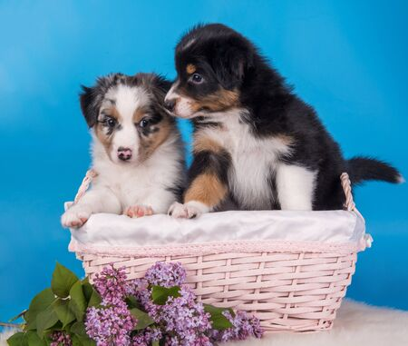 Two Australian Shepherd puppies dogs tri-color black, brown and white and merle six weeks old, sitting inside basket with lilac flowers on light blue background.