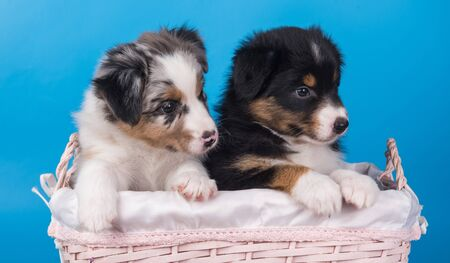 Two Australian Shepherd puppies dogs tri-color black, brown and white and merle six weeks old, sitting inside basket on light blue background. Reklamní fotografie