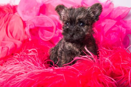 Funny brindle Cairn Terrier puppy dog is sitting on pink bois background. Reklamní fotografie