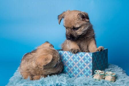 Two Funny Cairn Terrier puppies dogs with wheaten coat are sitting in gift box isolated on blue background