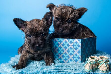 Two Funny Cairn Terrier puppies dogs with brindle coat are kissing each other in gift box isolated on blue background