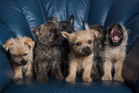 Six brindle and wheaten coat Cairn Terrier puppies dogs kennel on blue background