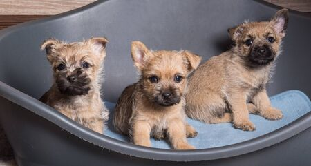 Three red and wheaten coat Cairn Terrier puppies dogs kennel in gray dog bed Reklamní fotografie