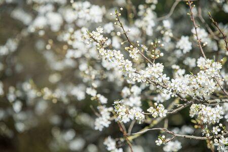 cherry plum blossom white flowers on spring background