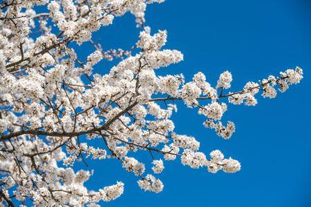 Apple tree flowers white blossom against sring blue sky