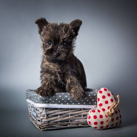 Funny brindle Cairn Terrier puppy dog in a wood basket with red heart on Valentine s Day. Studio portrait isolated on gray studio background.