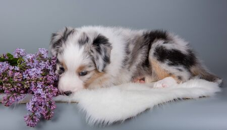 Red Merle Australian Shepherd puppy dog portrait with copper points, six weeks old, sitting with lilac flowers in front of light gray background. Dog sniffs flowers