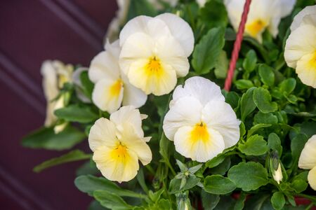 White yellow pansies flowers in a hanging pot with water rain drops outside