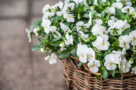 White pansies flowers in a hanging pot with water rain drops outside Reklamní fotografie