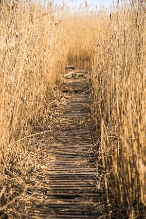 Wooden path among the reeds background on the lake in Latvia