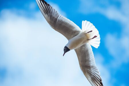 Seagulls flying on blue sky background with white clouds