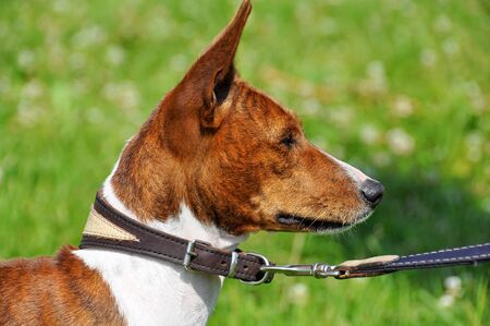 Basenji dog on a leash. Portrait Foto de archivo