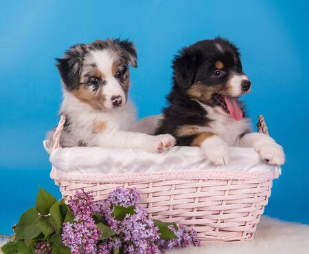 Two Australian Shepherd tan and merle puppies