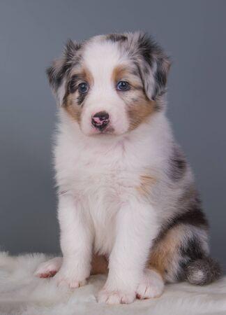 Cute Red Merle Australian Shepherd puppy portrait Фото со стока
