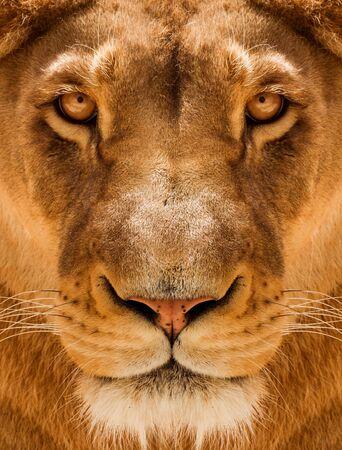 Lioness Close-up portrait, face of a female lion