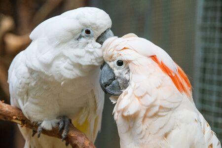 Lovely couple white cockatoos parrots on branch 版權商用圖片