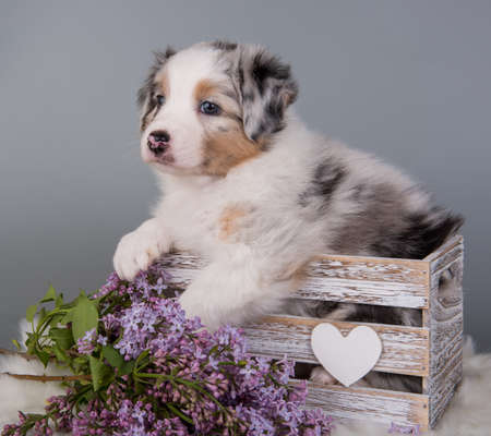 Red Merle Australian Shepherd puppy dog portrait with copper points, six weeks old, sitting with lilac flowers in front of light gray background.