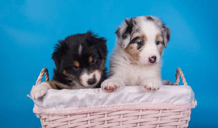 Two Australian Shepherd puppies dogs tri-color black, brown and white and merle six weeks old, sitting inside basket on light blue background. 스톡 콘텐츠