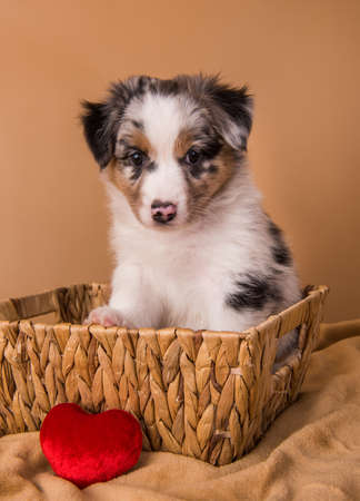 Red Merle Australian Shepherd puppy with copper points, six weeks old, sitting inside a basket in front of light brown background