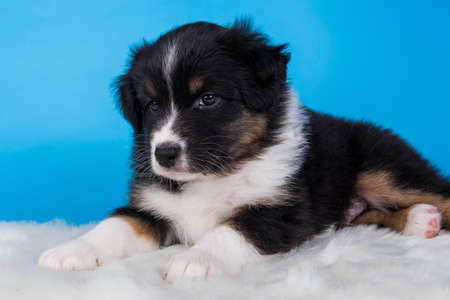 Australian Shepherd puppy portrait. Dog tri-color black, brown and white six weeks old, sitting on blue background.
