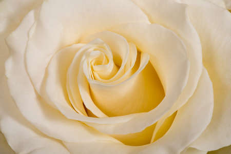White rose flower macro close-up background or texture