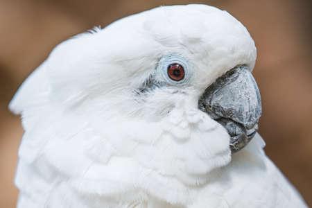 White cockatoo parrot bird close up horizontal portrait