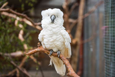 White cockatoo parrot sitting on a branch, zoo 스톡 콘텐츠