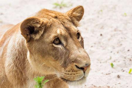 Lioness Close-up portrait, face of a female lion Panthera leo.