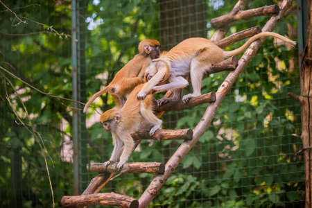 Mother patas monkey and children in zoo Latvia