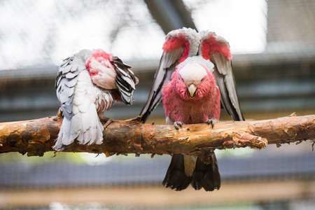 A pair of galah parrots sitting on a tree in zoo 스톡 콘텐츠