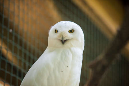 Snowy owl bird sitting quietly looking out in zoo