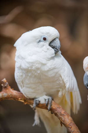 Salmon-crested cockatoo on the wood stick Isolated in zoo