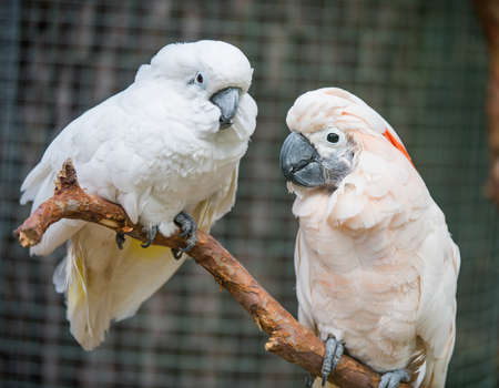 Two lovers White cockatoos parrot sitting on a branch and cooing. Lovely couple of cockatoos.