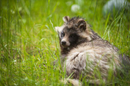 Raccoon dog sitting on grass in zoo Latvia 스톡 콘텐츠