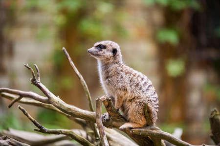 Meerkat, Suricata suricatta, sitting on a tree outside, Latvia zoo