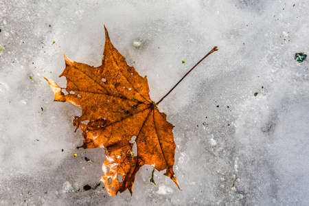 Maple leaf frozen in ice on winter background. 스톡 콘텐츠